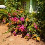 Bouganvillea at the villa complex