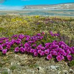 view from Arctic Watch, Arctic Saxifrage flowers