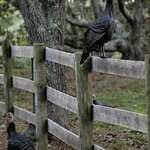 Wild turkeys on the grounds of the Inn
