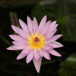 Beautifull Water Lilly at Reception