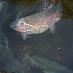  There are some big beautiful rainbow trout just waiting to be fed by you.