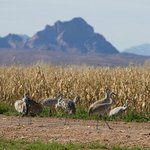                                      Sandhill Cranes in corn field
