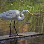 Great Egret Posing in the Small Pond