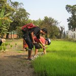 Picking rice seedlings
