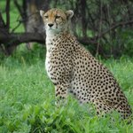                    one of many lovely cheetah photos