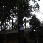                    Banana tree.