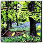 Blue Bell Wood Walk in April