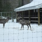 Reindeer at Charmingfare Farm
