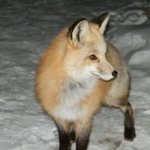 Fox visiting Grand Escape 2010