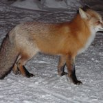 Fox passing through Grand Escape Cottages - 2008