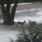  Mule Deer on the front lawn.