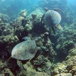 Hawaii green sea turtles