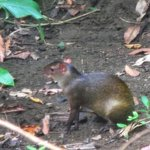 the agouti that woke us up one morning, just outside our window!