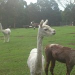 Alpacas - just some of the animals