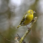 Wallington Hall Wildlife Hide - Siskin