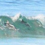  Dolphins surfing seen from balcony of Room 1