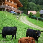  lovely cows greeting us outside the chalet