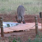 Antelope Taking a Sip from Swala's Pool!