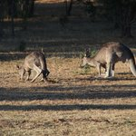                   Kangaroo&#39;s enjoying an early morning feed