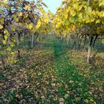  il vigneto in autunno