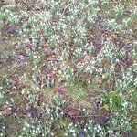                    Snowdrops in bloom at Howick Hall