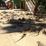 The iguana farm we visited