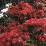  The pohutukawa tree, closeup from the Crowsnest