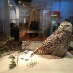 This snowy owl is just one of the many dioramas featuring Maine wildlife.
