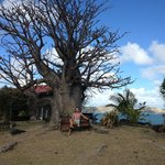                    The Baobab tree at Hurricane Cove