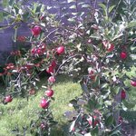  fruit trees in back garden
