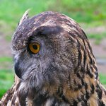 Owl at birds of Prey Program