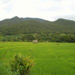                    My view of the rice fields from my bungallow
