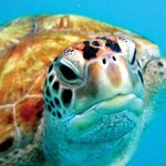  Alice the Gili turtle