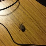 stink bug on desk basking in the warmth of the only working light in the room