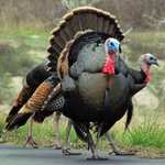 A tom turkey strutting in the Visitor Center parking lot.