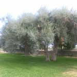 The garden with centenary olive trees