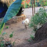                    the Secret Garden pet sheep Pashimina