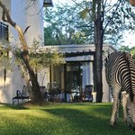 zebra in front of our room - Royal Livingstone