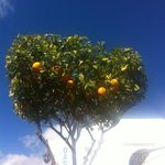                   orange trees