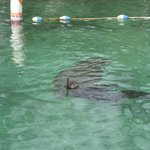 A snorkler with a manatee outside of Three Sisters Springs