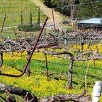 Mustard plants enhancing the vineyards