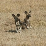 Wild dogs- so cute unless they're after you