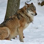 Wolf im Nationalpark Lusen