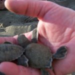 turtles hatching just down the beach