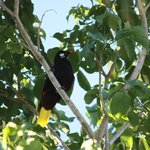 Montezuma Oropendola on property