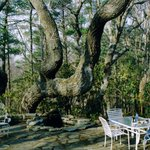                    The original &quot;crooked oak&quot; (from about 2004)