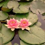                    Lotus flowers =)
