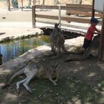 The zoo: kangaroos