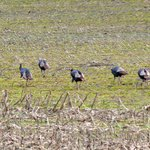                    Turkeys, turkeys everywhere!  I saw these guys on my way to the lodge.