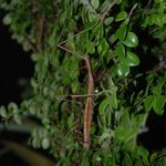                    Mating Stick insects seen on the night part ofnthe combo walk
